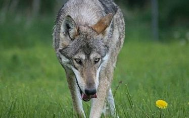 Up Close And Personal With A Wolf